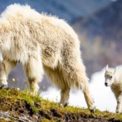 La chèvre des montagnes